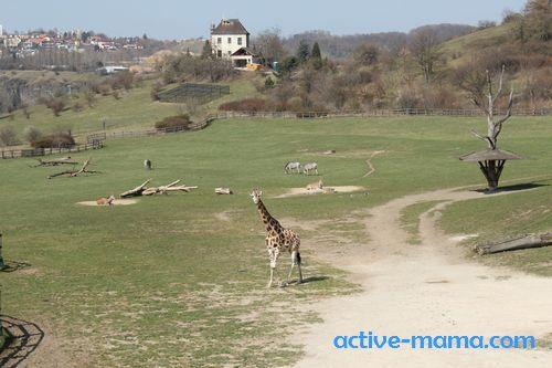 жираф в Пражском зоопарке
