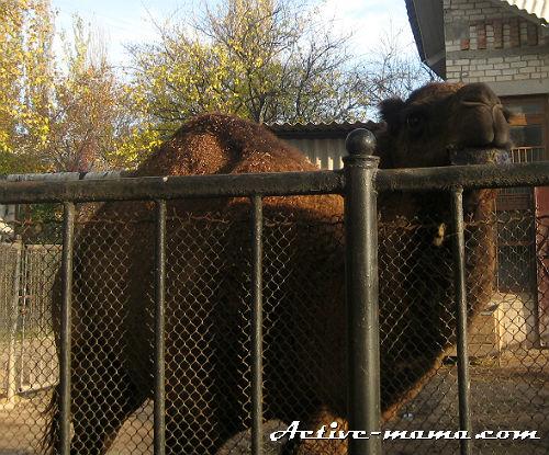Верблюд. Зоопарк в Николаеве