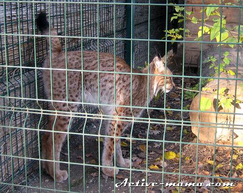 Рысь. Зоопарк в Николаеве