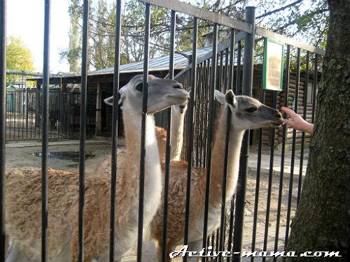 Ламы. Зоопарк в Николаеве