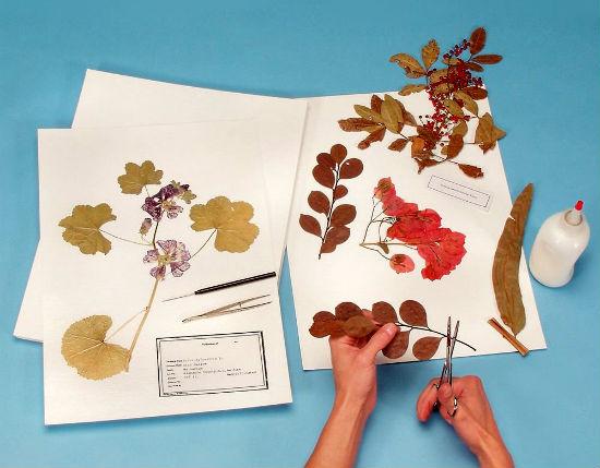 Как сделать гербарий своими руками, для школы, для детского сада, описание. Как сушить гербарий. Как оформить гербарий, в школу, в детский сад. Гербарий образец, шаблоны